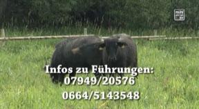 """Führung zum Thema """"Die Büffel sind los - Landschaftspflege im Europaschutzgebiet Maltsch"""""""