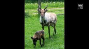 Rentiernachwuchs im Jagdmärchenpark Hirschalm